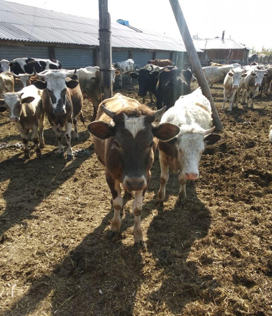 Развитие отрасли животноводства в районе