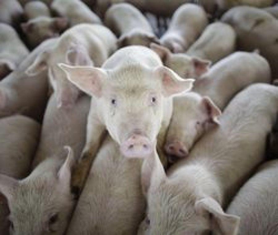 Новая вспышка заболевания свиней  африканской чумой (АЧС)
