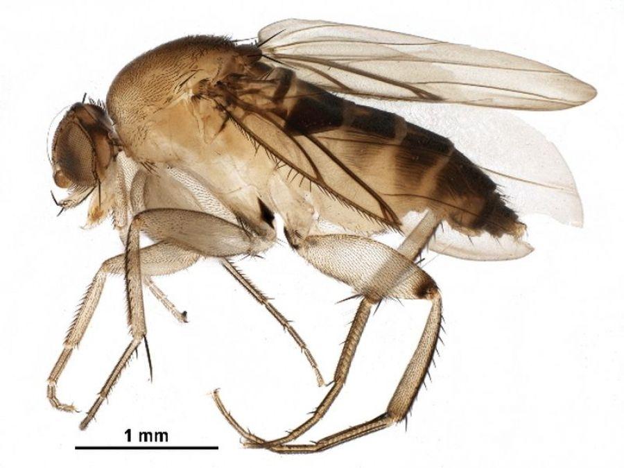 Внимание! Опасный карантинный вредитель — многоядная муха-горбатка