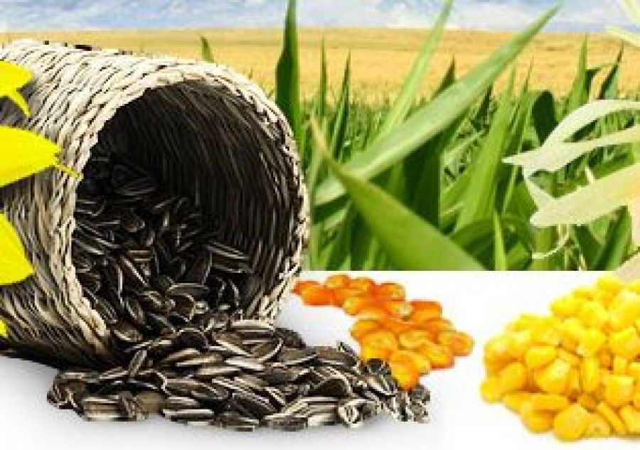 Современные технологии выращивания гибридов подсолнечника и кукурузы