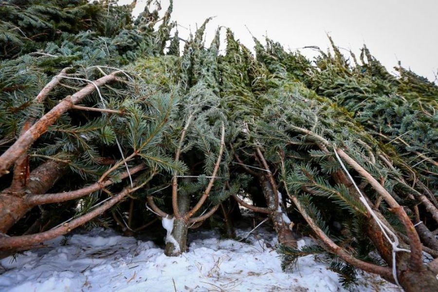 Ответственность за самовольную заготовку новогодних елей и сосен